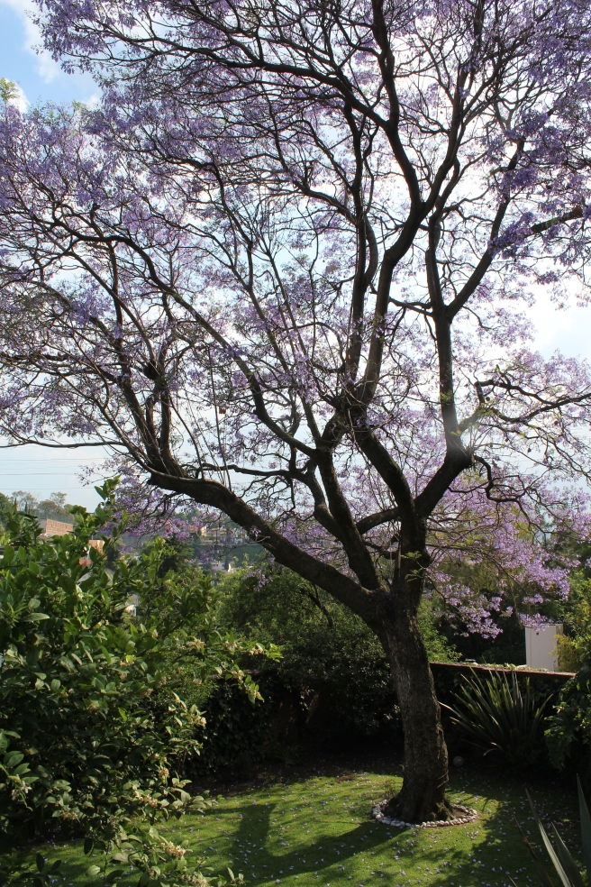 The jacaranda tree always reminds us that something good is on the way.